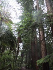 Redwoodbäume wachsen 100 mal schneller in NZ als in den USA